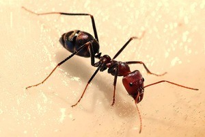 蟻 800px-Meat_eater_ant_feeding_on_honey02