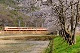 武庫川の桜と381系