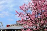 陽光桜と北急8000