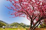 八重桜と289系