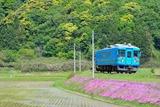 芝桜とKTR700