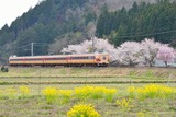 桜と381系_1