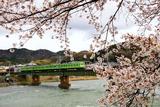 桜の宇治川を渡る103系