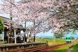 法華口駅の桜