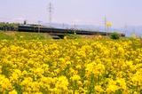 菜の花と「トワイライトエクスプレス」