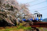 桜の永平寺川橋梁