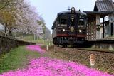 芝桜と「くろまつ」