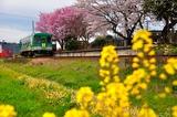 播磨横田駅の桜