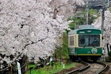 嵐電「桜のトンネル」1