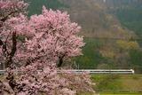 清水の桜とサンダーバード