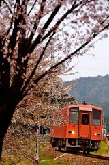 桜の一乗谷