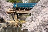 夙川の桜とEF66