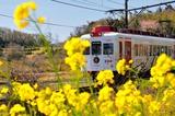 菜の花と「いちご電車」
