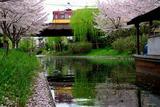 桜散る水辺と京阪特急