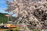 柏原川の桜と183系