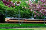 八重桜と183系