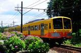 アジサイと三岐電車