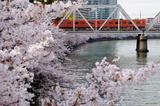 大川の桜と103系