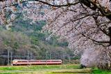 武庫川の桜と183系