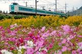 長岡京のコスモス畑と381系
