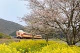桜と菜の花と381系