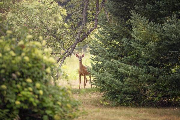 roe-deer-5502246_1920