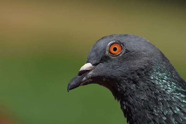 pigeon-5329074_1920