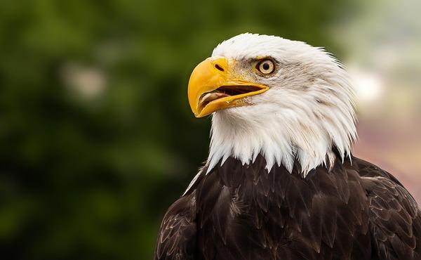 bald-eagle-5657154_1920