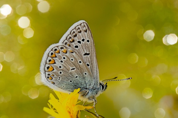 common-blue-6126462_1920