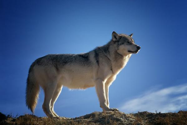 wolf-142173_1920