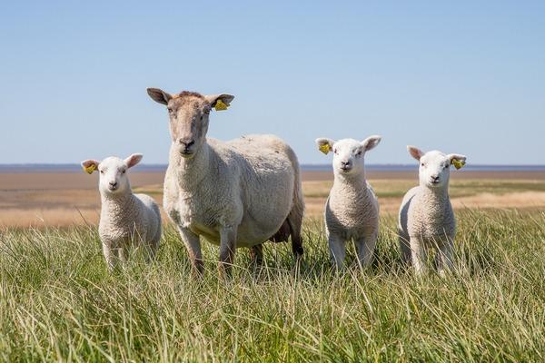 sheep-5078377_1920