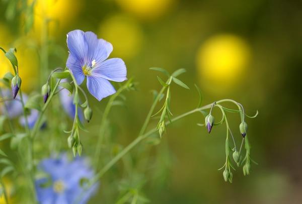blue-flax-4897655_1920