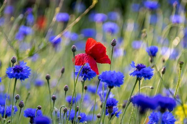 poppy-5270458_1920