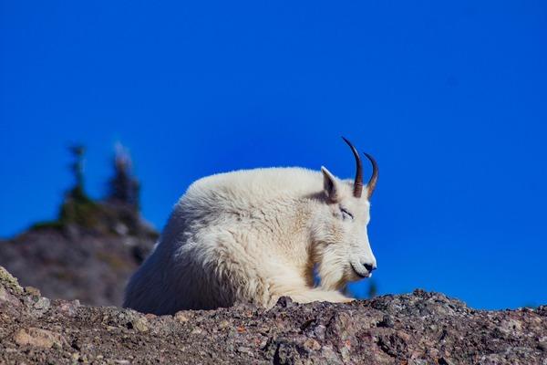 goat-5934811_1920