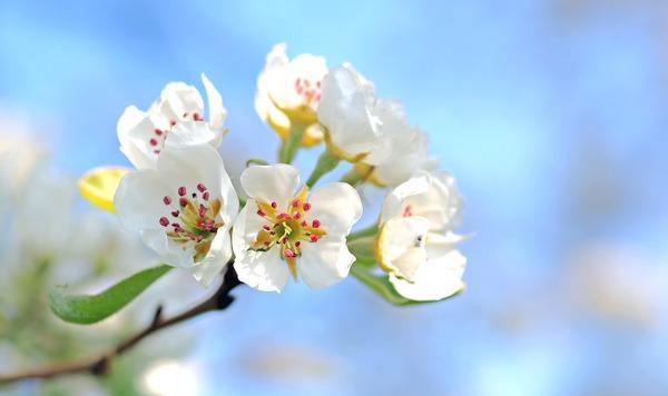 apple-blossoms-1368187_1920