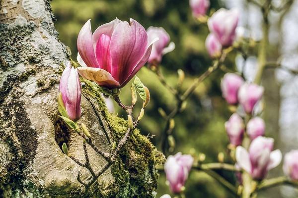 magnolia-4839467_1920