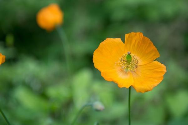 yellow-poppy-4295713_1920