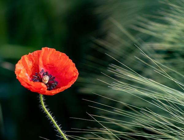 poppy-6375453_1920