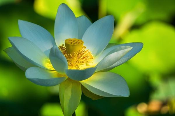lotus-flower-4774833_1920