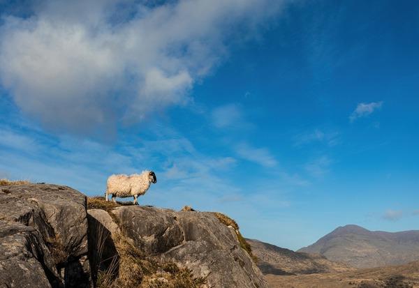 sheep-5929158_1920