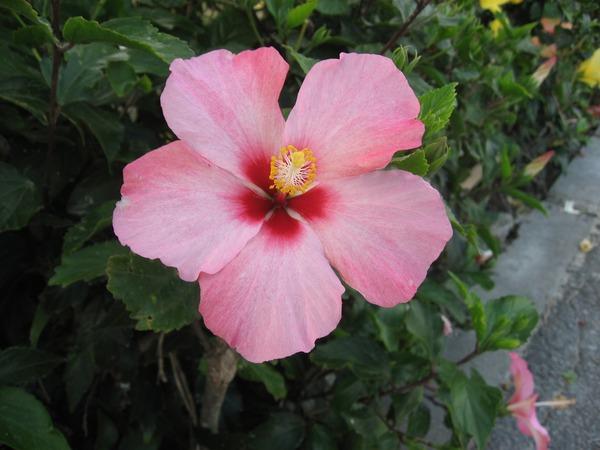 hibiscus-1329479_1920