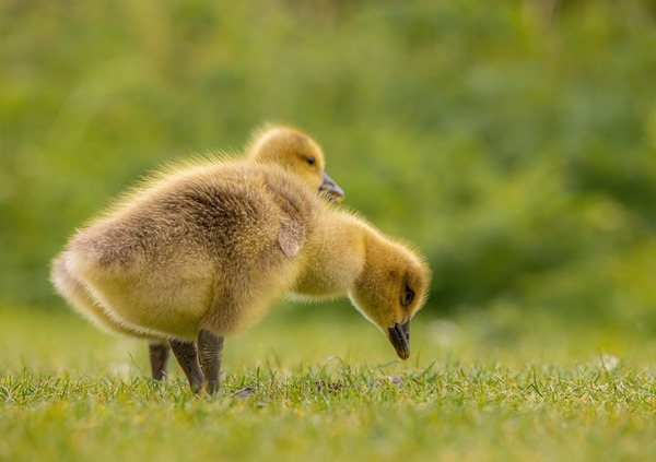 geese-6226364_1920
