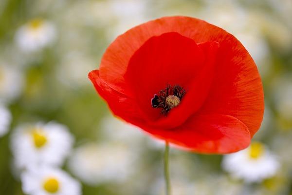 poppy-6320719_1920