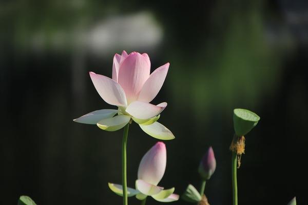 lotus-6045441_1920