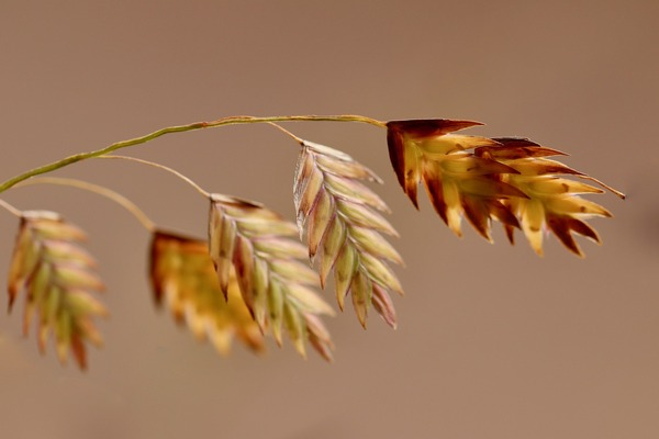 north-sea-oats-5706656_1920