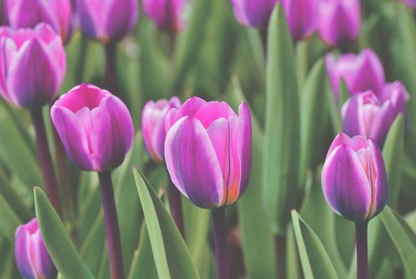 tulip-4809896_1920