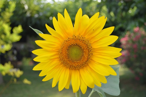 sunflower-829965_1920
