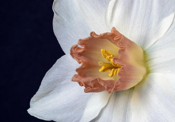 narcissus-4967729_1920