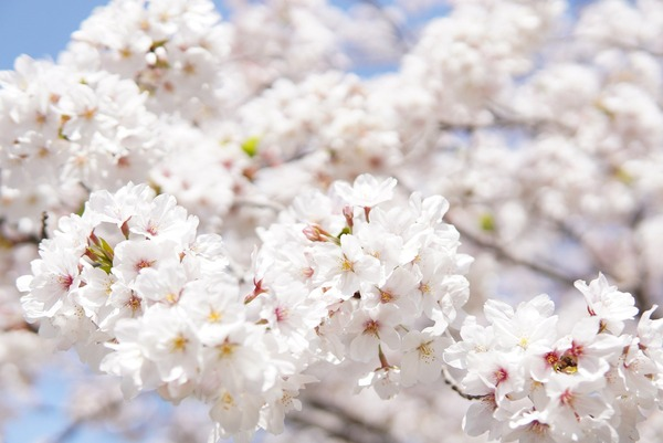 japanese-cherry-blossoms-6125088_1920