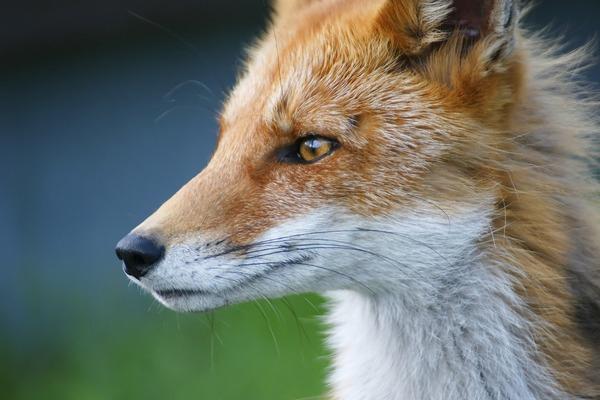 fox-5042242_1920